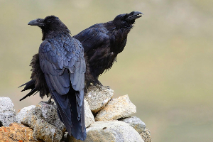 Scientists Discover the Ability of Ravens to Plan Ahead